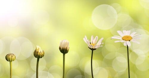 Blomst, der vokser og udvikler sig