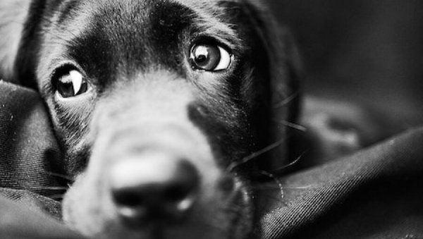 Hund med triste øjne viser sorgen ved at miste sit kæledyr