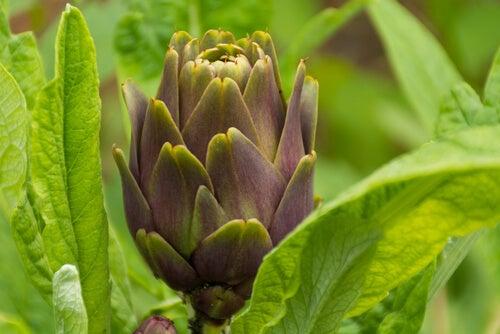 Historie om blomster og artiskok som lærer os om kærligheden
