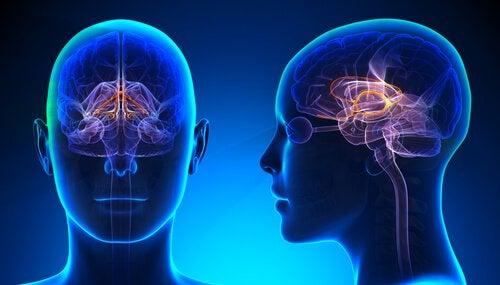 Illustration af hjerner