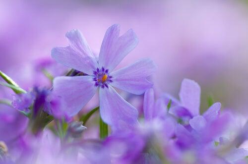 Små lilla blomster
