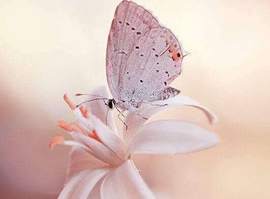 Hvid sommerfugl på blomst lader vingerne flyde
