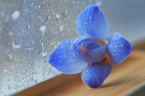 Blå orkide foran rude med regn på