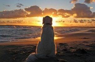 Golden retriever foran solnedgang lever et simpelt liv