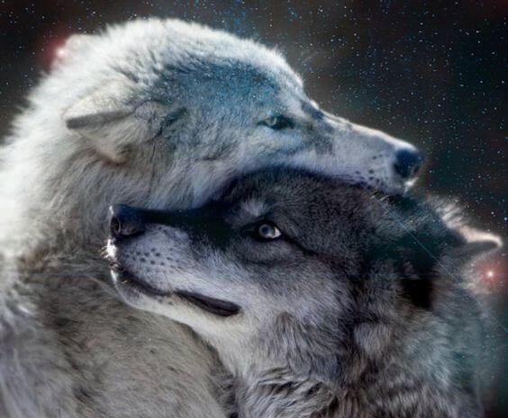 To grå ulve deler kærtegn
