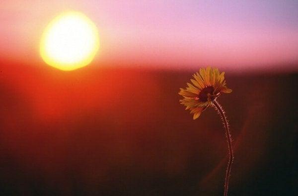 Solopgang bagved blomst