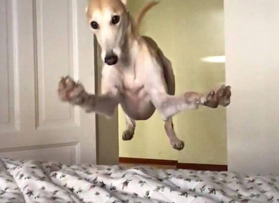 Hund, der hopper op i seng, kan få os op om morgenen
