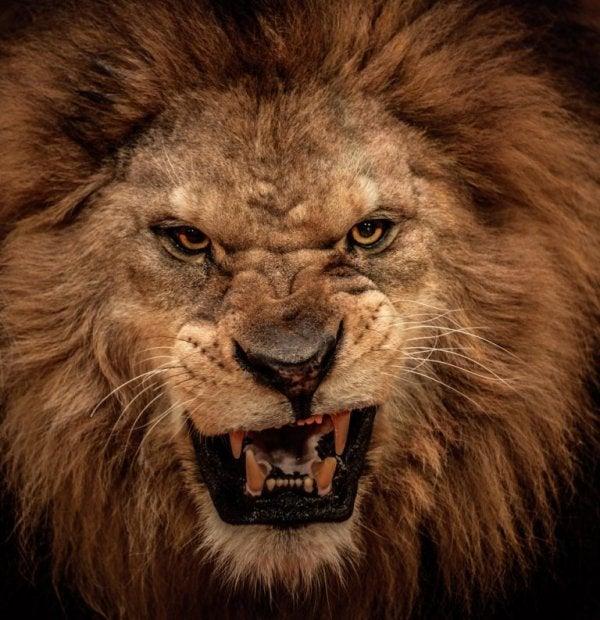 Løve brøler