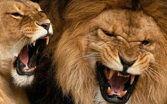 Løver udsender højt råb