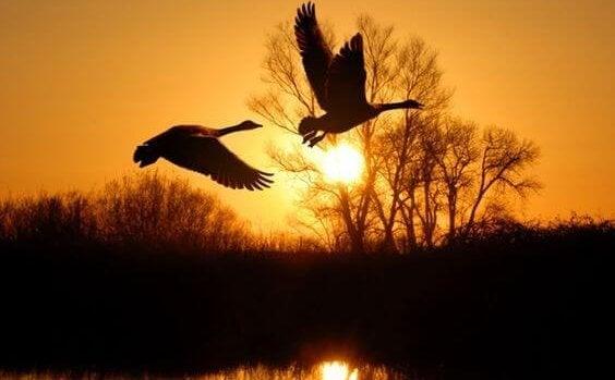 To fugle flyver over sø i stilhed