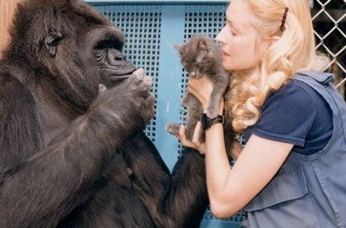 En sød historie om Koko, den klogeste gorilla i verden