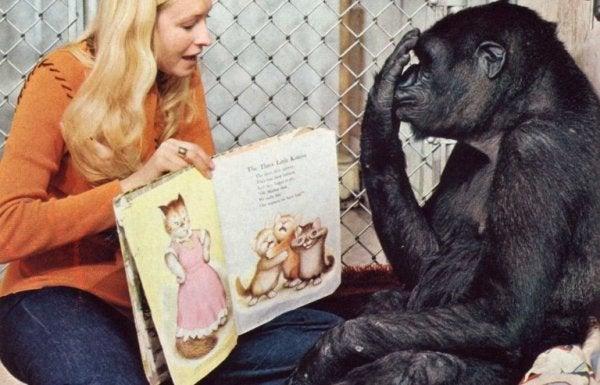 Koko, den klogeste gorilla i verden, læser bog