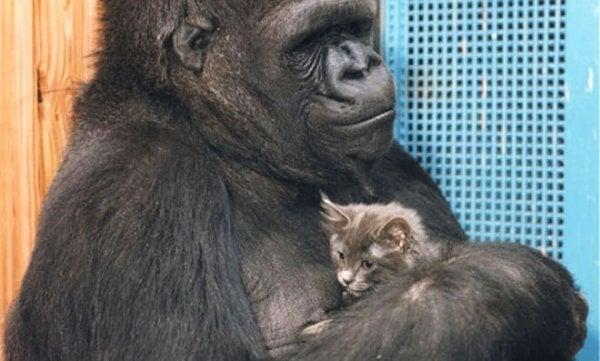Koko, den klogeste gorilla i verden, med katten, All Ball