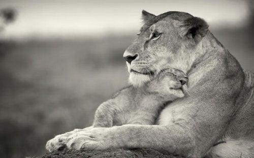 Løvemor krammer unge