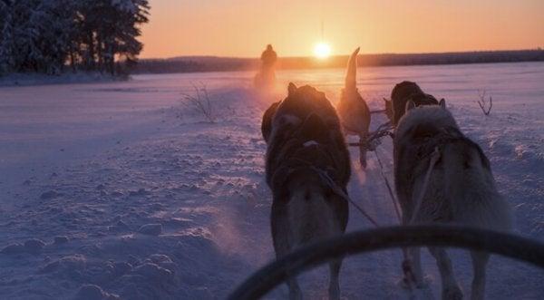Finske hunde med slæde bærer sisu
