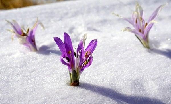 Små blomster i sne