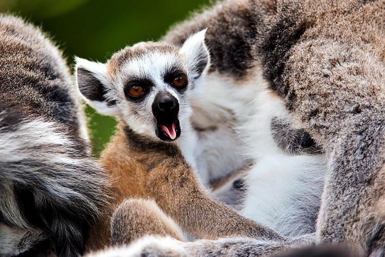 En lemurs gab symboliserer flere ting