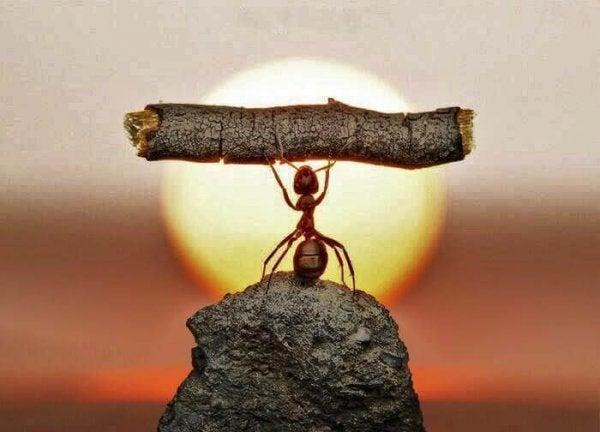 Myre med udholdenhed løfter pind
