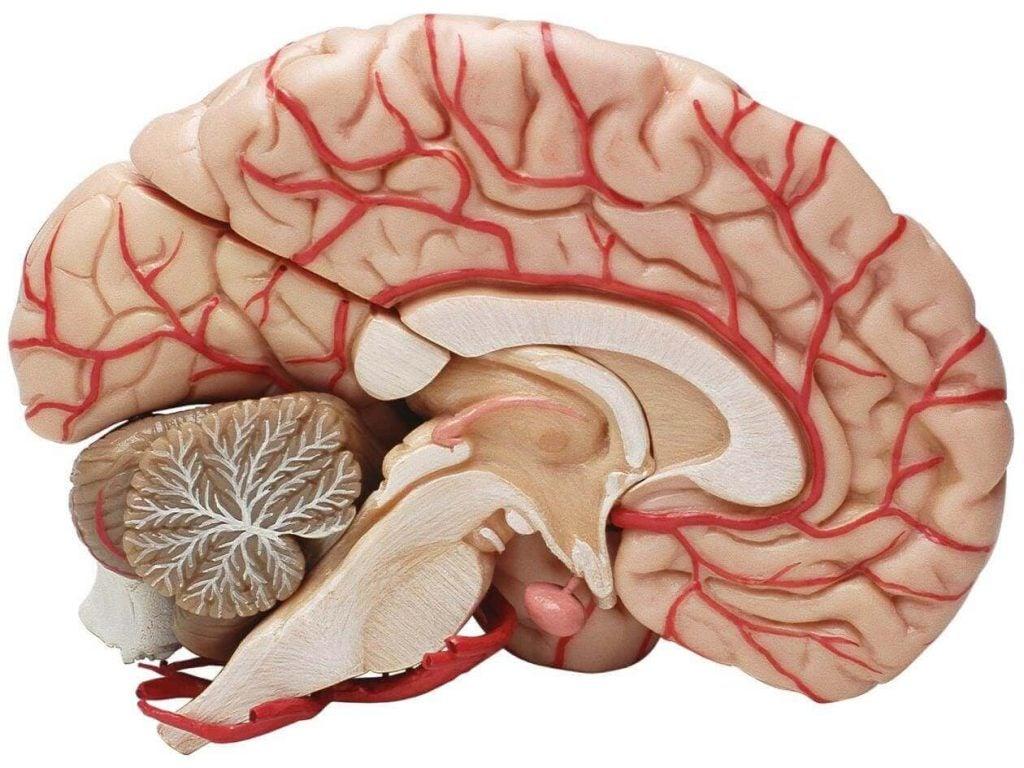 Hjerne skåret over i halv