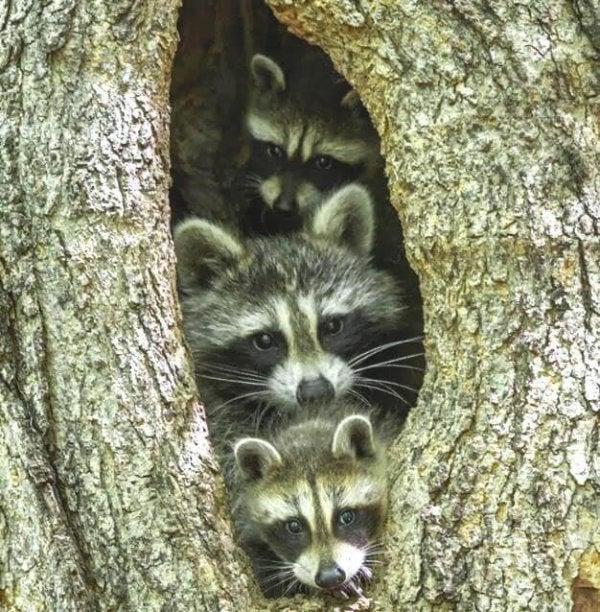 Tre vaskebjørne i træ