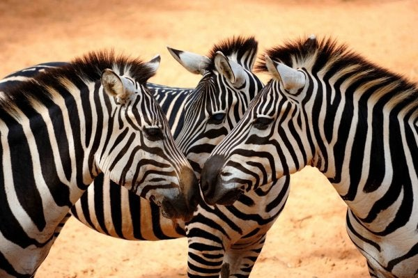 Zebraer i ørken