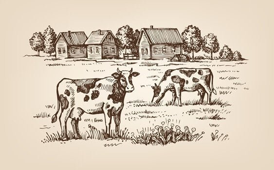 Køer på mark