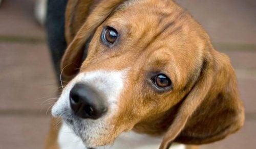 Hund kigger forhåbningsfuld på kamera