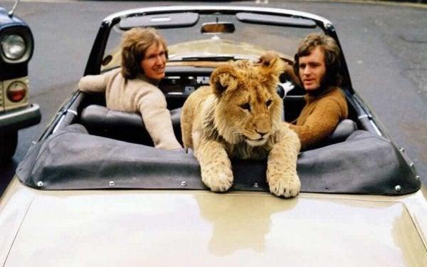 Løve i bil med venner