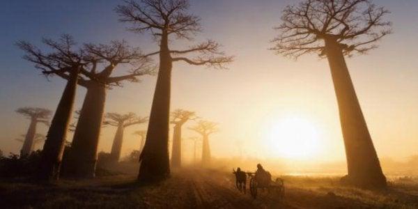 For mange baobabtræer ødelægger alt
