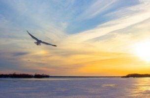 Fugl flyver over vandet