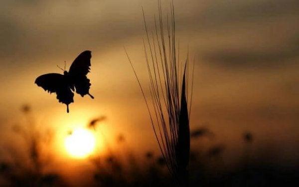 Sommerfugl foran solopgang