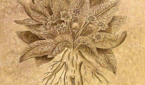 alrun plante