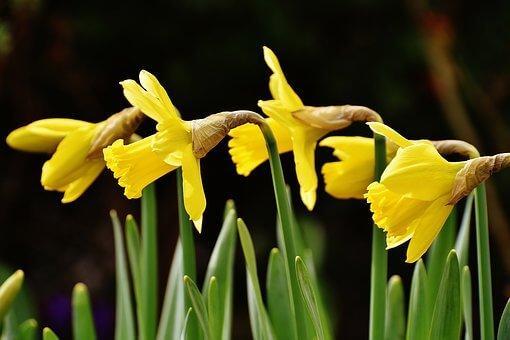 gule blomster