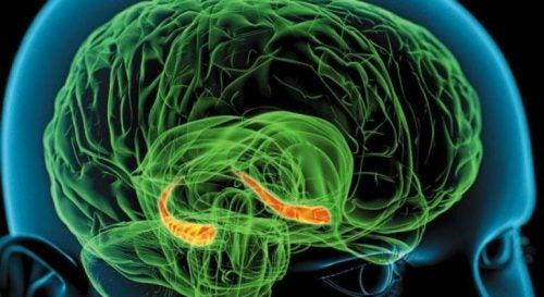 Hippocampus i hjernen