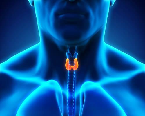 Hormoner fra skjoldbruskkirtlen har stor indflydelse på sundheden