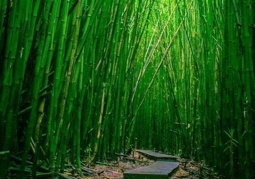 Bambus kan danne tætte skove