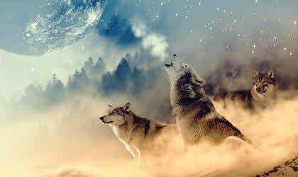 Effekten af ulvemedicin ifølge indianerne