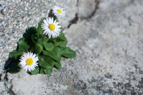 Mælkebøtter vokser gennem asfalt, som symbol for, hvordan mennesker kan vokse gennem kriser
