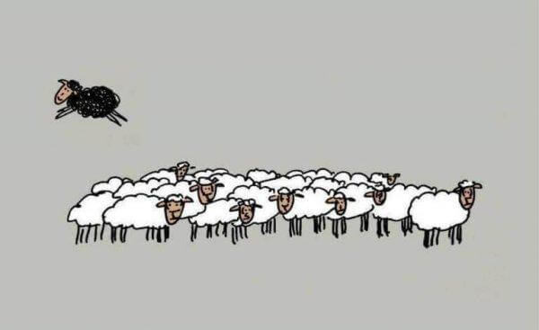Sort får hopper ud af flok af hvide får