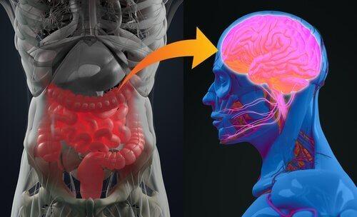 Det enteriske nervesystem og hjernen