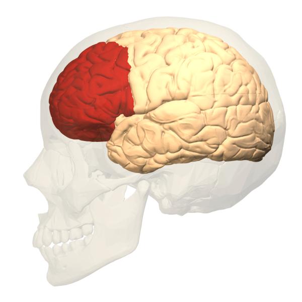 Det præfrontale cortex er det område i hjernen, der sidst udvikler sig
