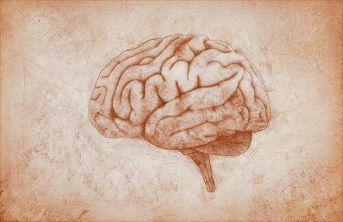 tegning af hjernen