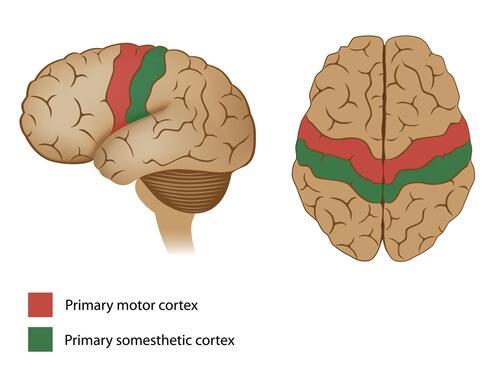 tegning over hjernen
