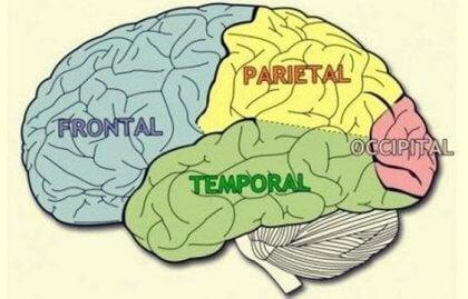 Hjernelapper: Karakteristika og funktioner