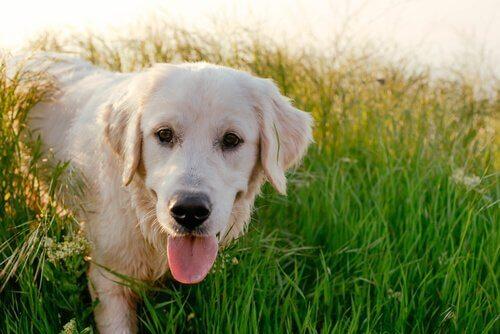 En gul Labrador Retriever
