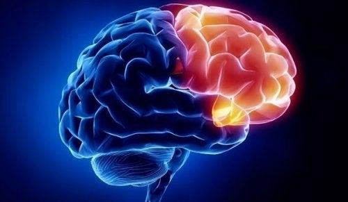 Det orbitofrontale cortex oplyst i hjerne