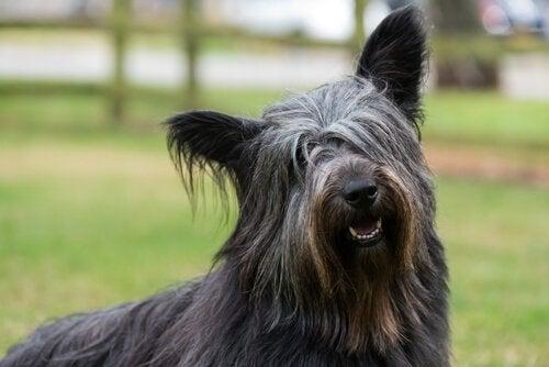 En sort Skye Terrier hund er med i en af de mest kende fortællinger om hunde