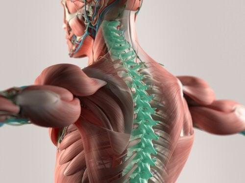 Cerebrospinalvæsken: Centralnervesystemets grundlag