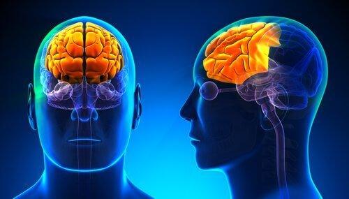 skitser over hjernen viser den treenige hjerne