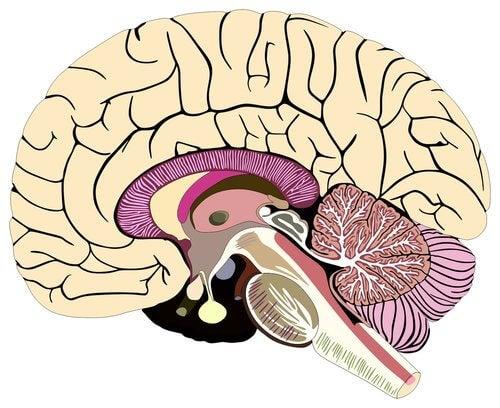 Hjernehinder beskytter hjernen